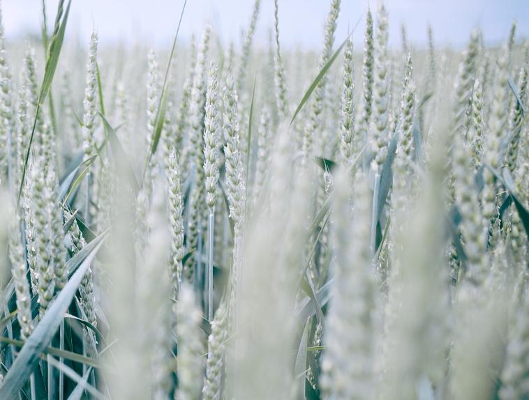 小麦使用小麦拌种剂的好处